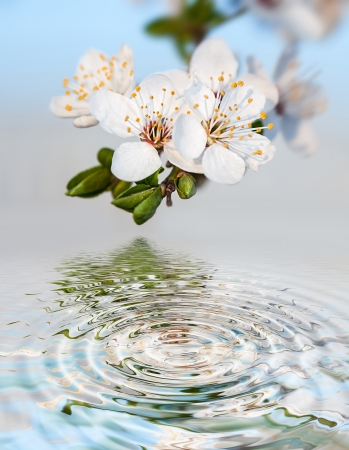 Spring. Blossoming tree brunch with white flowers and water reflection photo