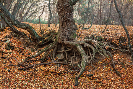 Autumn forest. The roots of an old tree photo