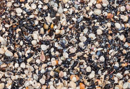 Large number of shells molluscs lies on the coast. Seashells natural