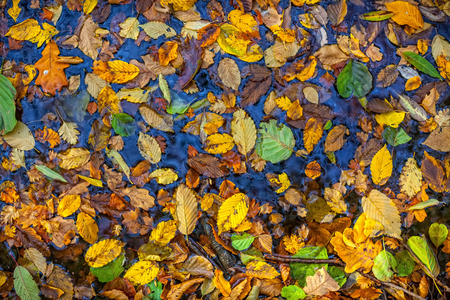 sear and yellow leaf: Autumn  leaves. A lot of yellow and orange dry leaves lying on the watar