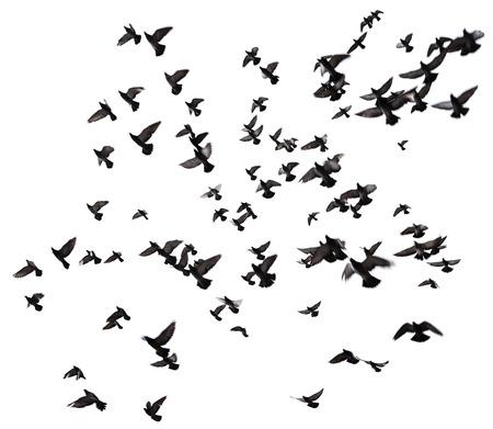bandada pajaros: Siluetas de palomas. Muchas aves volando en el cielo. El desenfoque de movimiento. Aislados en blanco