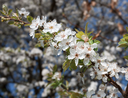 Spring. Soft image of blossoming tree brunch with white flowers. Shallow DOF photo