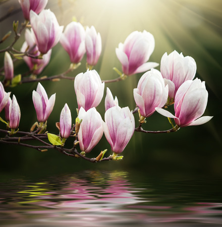 Blossoming magnolia flowers in spring time with water reflection.