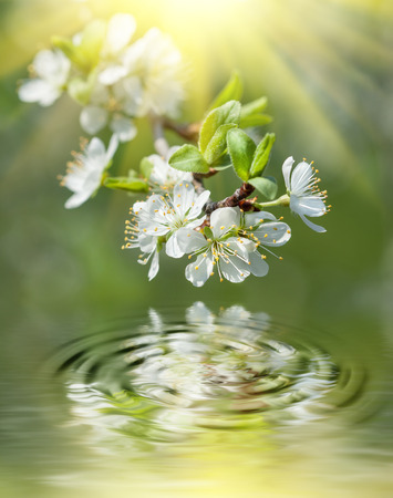 Spring. Soft image of blossoming tree brunch with white flowers