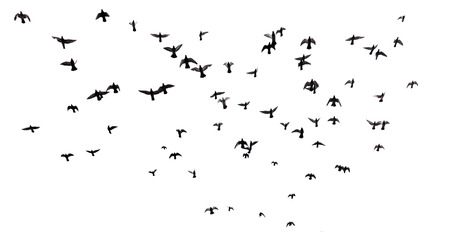 Silhouettes of pigeons. Many birds flying in the sky. Motion blur. Isolated on white