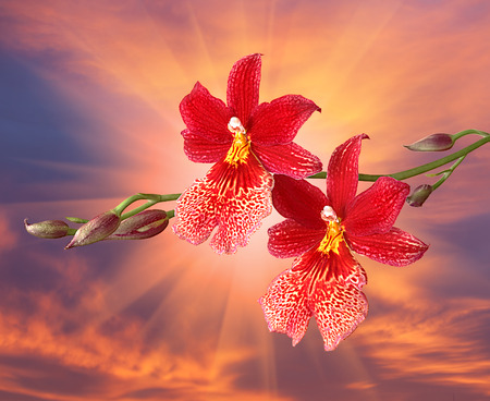 seldom: Cambria. Red orchid flower against evening sky and sun light