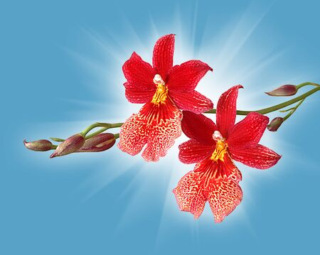 seldom: Cambria. Red orchid flower against blue sky and sun light Stock Photo