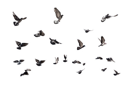 Pigeons flying. Many birds isolated on white background
