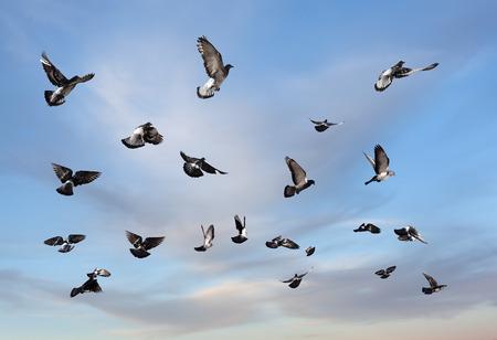 palomas volando: Las palomas vuelan. Muchas aves contra el cielo nublado por la ma�ana