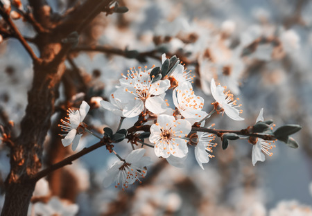 Springtime. Soft focus image of spring flowers blossom in sunny day. Beautiful nature scene with blooming tree and sun flare. Sunny day. Beautiful Orchard background.