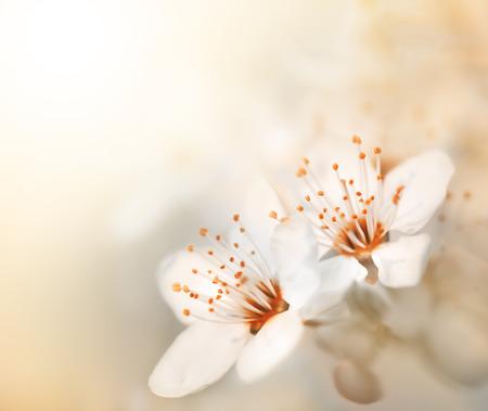 Lente. Soft focus beeld van de lente bloemen bloeien in een zonnige dag. Prachtige natuur scène met bloeiende boom en zon flare. Zonnige dag. Mooie Orchard achtergrond.
