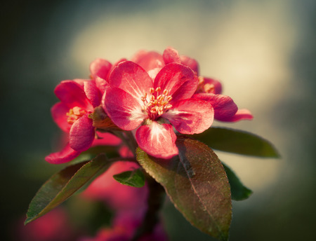 to thrive: Soft focus image of branch with red spring flowers blossoms