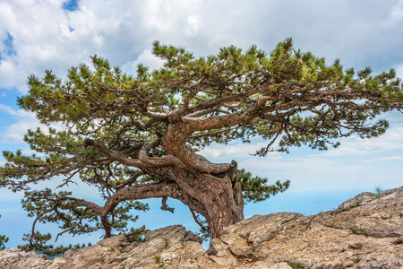 relict: Relict pine tree in the Crimean mountains. High rocks Ai-Petri of Crimean mountains. Black sea coast and blue sky with clouds
