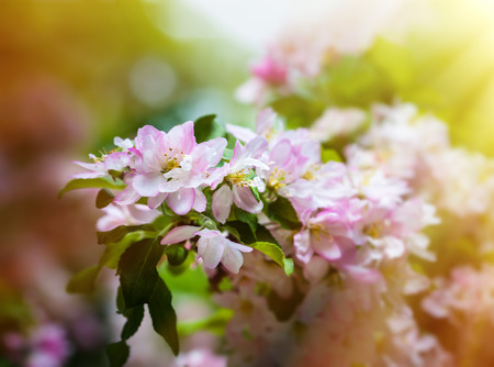 to thrive: Soft focus image of branch with spring flowers blossoms. Stock Photo