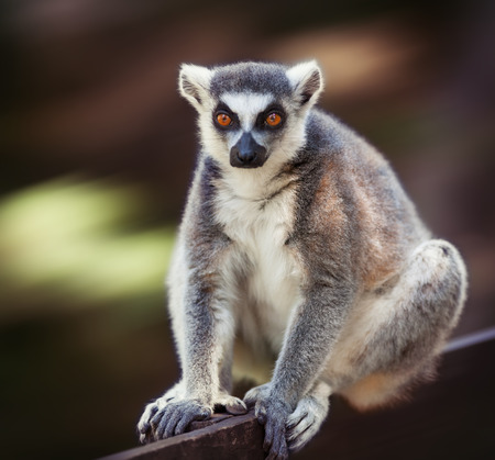 ring tailed: Image of lemur catta (ring tailed lemur) on blurred background Stock Photo