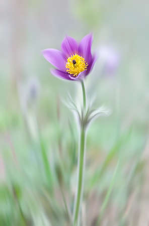 pasque: Abstract blurred flowers. Intentional motion blur. Pasque Flower (Pulsatilla patens) in springtime. Shallow DOF