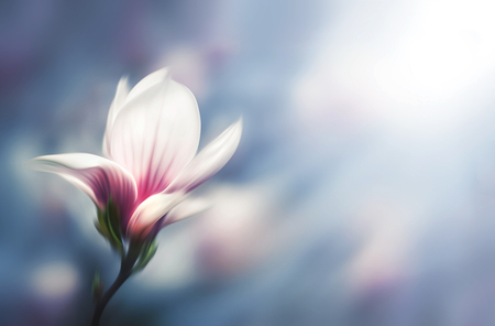 intentional: Soft focus image of blossoming magnolia flower in spring time with copyspace. Abstract blurred flowers. Intentional motion blur. Shallow DOF Stock Photo