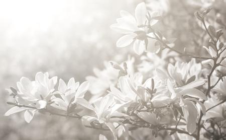 Magnolia kobus white magnolia flowers blooming magnolia tree magnolia kobus white magnolia flowers blooming magnolia tree with white flowers in sun light mightylinksfo