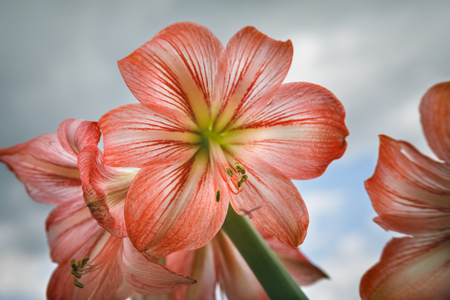 Amaryllis (Hipperastrum). Red large amaryllis flowers against cloudy sky