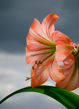 Amaryllis (Hipperastrum). Red large amaryllis flowers against cloudy sky