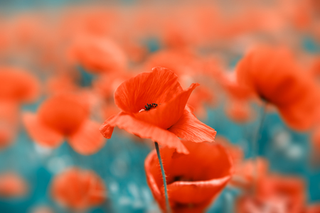 Field of poppies. Landscape with poppy. Nature background. Vintage color tone Stock Photo