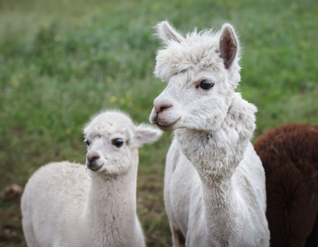 An alpaca (Vicugna pacos) is a domesticated species of South American camelid. It resembles a small llama in appearance Banco de Imagens - 81707964