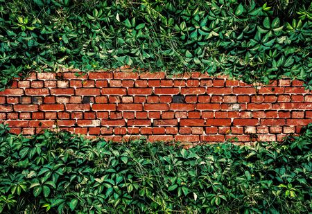High-contrast image of old red brick wall covered with green leaves of wild grape. Brick wall texture with ivy. Natural background. Stock Photo