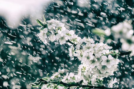 Spring rain in the garden. White flowers of cherry plum in the rain on a spring day. Soft focus and shallow DOF