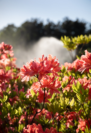 Rhododendron plants in bloom with flowers of different colors. Azalea bushes in the park with different flower colors.