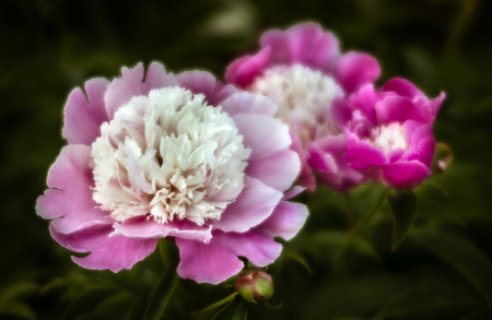 Soft focus image of blooming pink peonies in the garden. Selective focus. Shallow depth of field Stock Photo