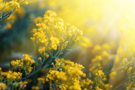Soft focus image of small yellow flowers of aurinia saxatilis soft focus image of small yellow flowers of aurinia saxatilis in sun light common names mightylinksfo