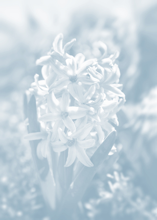 Soft focus image of hyacinth flowers blooming at springtime. Blue hyacinth blossom. Image in light blue tonality Banque d'images
