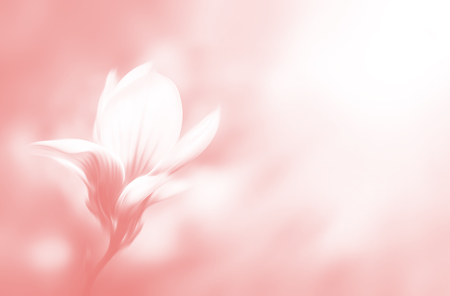 Soft focus image of blossoming magnolia flower in spring time with copyspace. Abstract blurred flowers. Intentional motion blur. Nature background in light pink tonality.