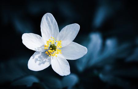 Spring and nature. Anemones first spring flowers. Anemone sylvestris, snowdrop anemone flower.