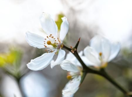 White flowers of the trifoliate orange, poncirus trifoliata or citrus trifoliata is also known as the Japanese bitter-orange, hardy orange or Chinese bitter orange