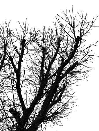 High contrast black and white image of leafless trees branches isolated on white background. Silhouette of a trees without leaves