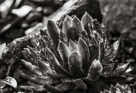 Black and white image of succulent growing among rocks.  Decorative place in the garden with succulents among the stones