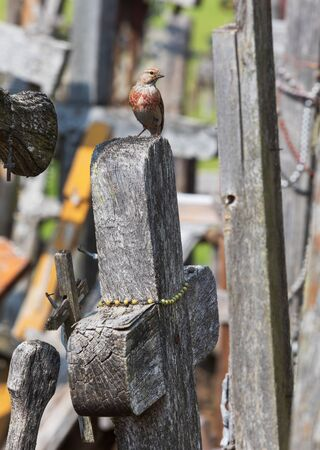 The bird sits on the cross on the hill of crosses. Hill of Crosses is a unique monument of history and religious folk art in Siauliai, Lithuania. 写真素材