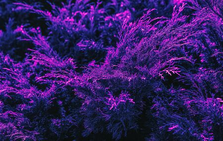 Plant with neon glow. Juniper tree texture background in trendy neon colors. Juniper branch pattern backdrop close up.