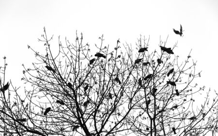 Silhouette of a crow on a tree. Ravens flock silhouette flying and sitting on trees