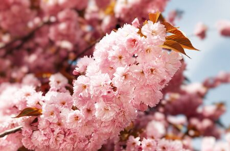 Sakura trees. Spring Cherry blossoms, pink flowers. Background with flowers on a spring time 版權商用圖片