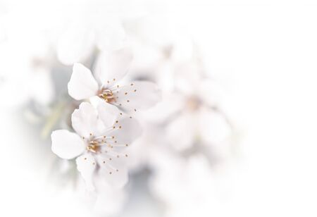 Soft focus spring background. Abstract floral border with white flowers. Floral image with copy space.