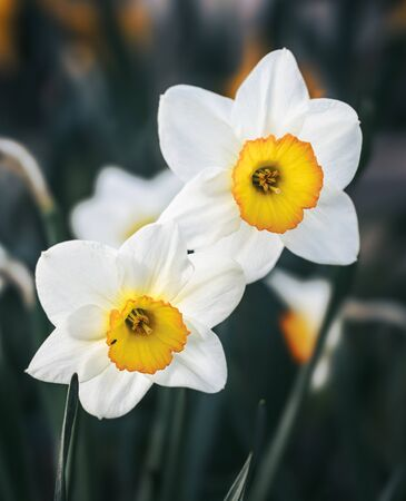 Daffodils of different types bloom in the spring in the garden. Blooming narcissus. Flowering daffodils at springtime. Spring flowers. Shallow depth of field.
