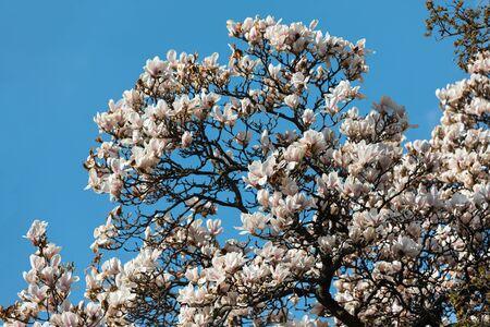 Natural background concept. Magnolia tree blossom. Blossom magnolia branch against nature background. Magnolia flowers in spring time Foto de archivo
