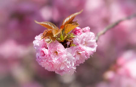 Sakura flowers. Flowering cherry tree. Delicate pink flowers blossomed Japanese cherry trees Standard-Bild