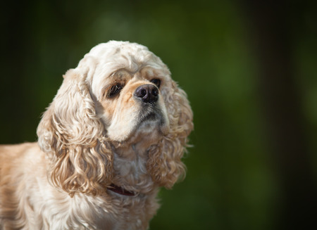 american cocker spaniel: Portrait of american cocker spaniel on blurred nature background