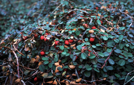 Nature background. Red Berries of Cotoneaster. Cotoneaster horizontalis plant with ripe red berries