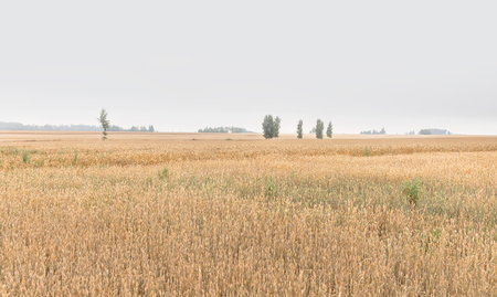 Landscape with a wheat field in cloudy weather. Ears of wheat. Natural background