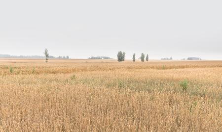 Paisaje con un campo de trigo en tiempo nublado. Espigas de trigo. Fondo natural Foto de archivo