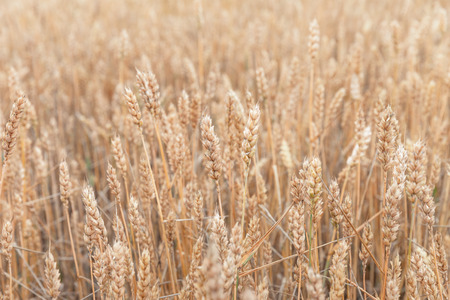 Wheat field ears. Shallow depth nature background Imagens